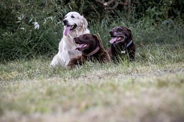Ein Golden Retriever und zwei Labrador Hunde auf der Wiese
