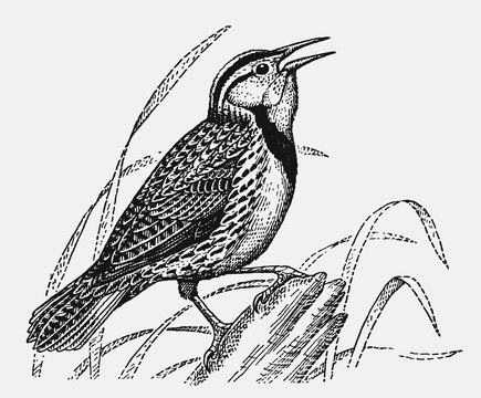 Singing Eastern meadow lark, sturnella magna sitting on a tree trunk. Illustration after an antique engraving from the early 20th century
