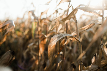 Dried corn stalks in a field at the end of a summer