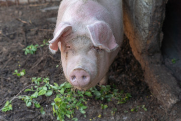 Dirty sick pig looking at camera in bad unclean cage. Sow animal abuse ecology commercial farm.