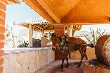 donkey pulls grinding stone to crush agave making mezcal