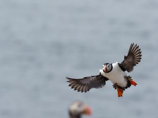 Fotoväggar - Puffin,Fratercula arctica