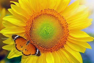 Sunflower and butterfly in sunny day