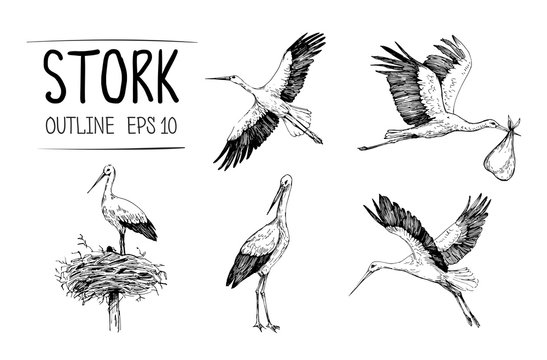 Sketch of stork illustrations. Hand drawn illustrations converted to vector