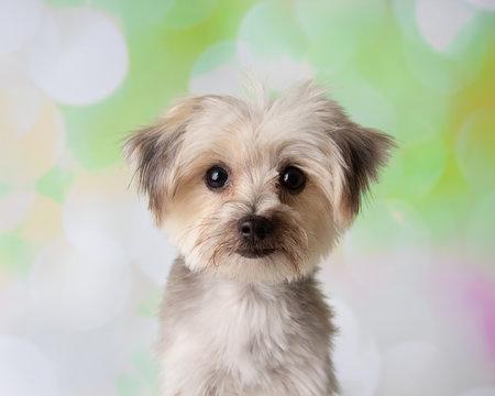 Morkie Yorkie Maltese Mix Dog Face Portrait