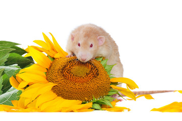 Portrait of a red eyed rat standing next to sunflower