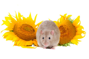 Domestic rat sitting between two blooming sunflowers