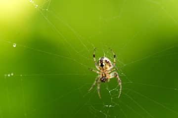 a perfect spider web picture, captured after heavy rain, finally spider resting at her home-spiderweb