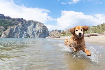 Happy golden retriever dog running fast and splashing in lake water
