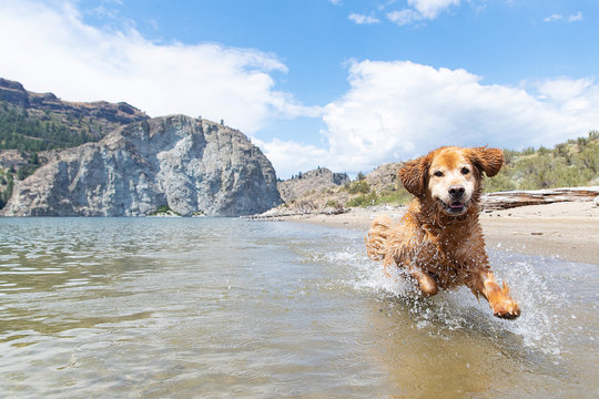 Happy golden retriever dog running fast and splashing in lake water