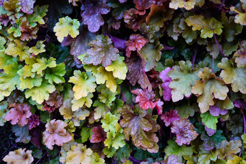 Purple and green leaves of the heuchera coral bells plant