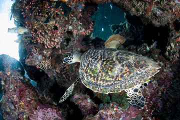 A Hawksbill sea turtle, Eretmochelys imbricata, swims under a reef ledge in Raja Ampat, Indonesia. This reptile is an endangered species hunted for its meat and shell. Wall mural
