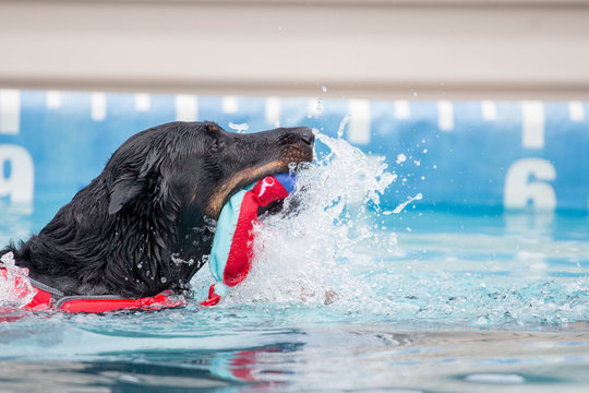 Black Dog Swimming with Toy / Dock Diving AKC