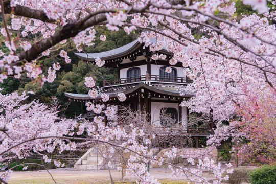 京都 勧修寺 桜