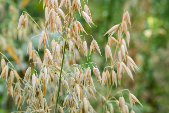 oat plant with grains - avena sativa