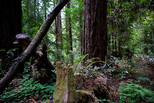 Redwoods forest in Northern California