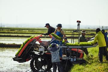 Farmers planting rice in field