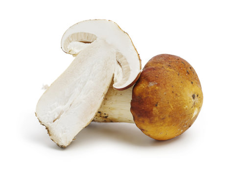 Tricholoma matsutake on white background