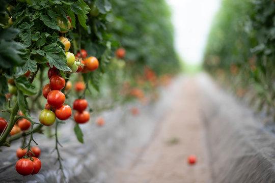 Champs de tomates sous serre dans les Landes