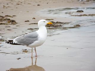 Silbermöwe, Laridae, am Strand