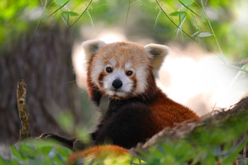 Portrait de panda roux dans un arbre