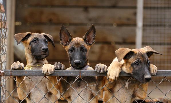 Cute puppies, Belgian Shepherd Malinois dogs, portrait of puppies