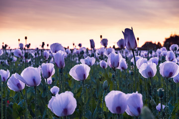 medical opium poppies in a field at sunset