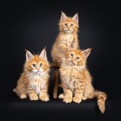 3 red Maine Coon cat kittens, sitting on and next to a little wooden stool. Looking at  camera with greenish eyes. Isolated on a black background.