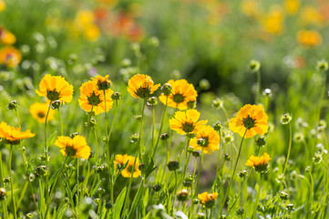 Outdoor spring, blooming yellow flower close-up, Coreopsis,Coreopsis drummondii Torr. et Gray