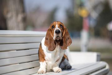 basset hound dog spring in the park
