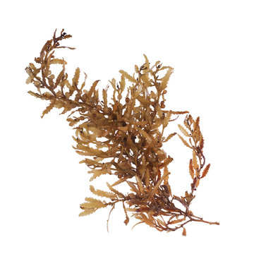 Pelagic brown algae in the genus Sargassum. The berry-like structures are gas-filled bladders known as pneumatocysts, which provide buoyancy to the plant. Isolated on white background