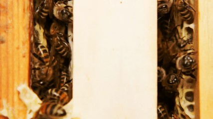 Wall Mural - Honey bees produce honey. Close shot of the work of bees.