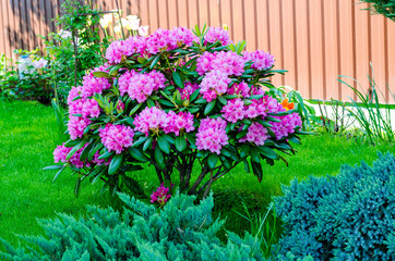 Rose blooming rhododendron bush in garden. Photo