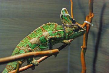 The veiled chameleon
