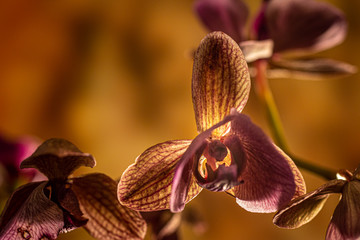 Even as its petals start to fade and lose their vibrant colour, the orchid still has the ability to provide a breathtaking picture