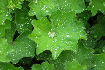 Drops of rain water on green plant leaves