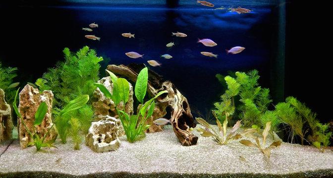 Freshwater aquarium with tropical fish, shrimps and water plants. Aqua scape and aqua design.