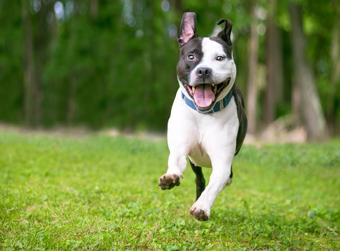 A happy black and white Pit Bull Terrier mixed breed dog running and playing outdoors