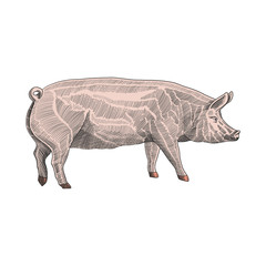 Vector illustration of pig in hand drawn graphic style, colorful engraving sketch drawing illustration.