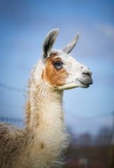 Fotorolgordijn Lama Portrait eines braun weißen Lamas