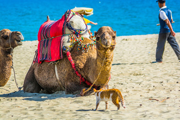 Unusual friendship between cat and camels on moroccan beach near Mediterranean Sea