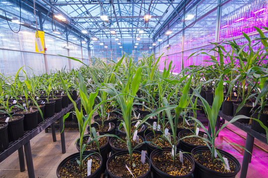 Long isles between rows of potted maize corn tightly grouped in a greenhouse.