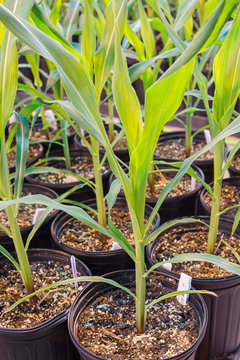 Potted maize corn tightly grouped in a greenhouse.