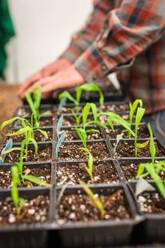 Hands carefully transplanting maze corn seedlings in potting flats.