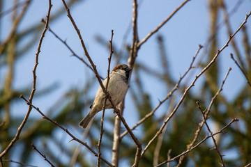 Ein männlicher Haussperling, Spatz, Vogel