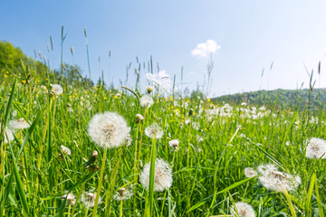 Idyllic flower meadow with blowball flowers in the summer