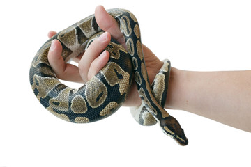 The image of the royal or ball python on the hand of man