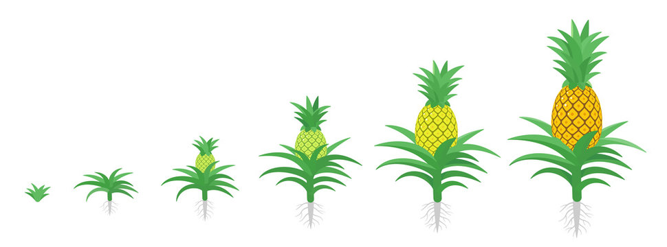 The Growth Cycle of pineapple. Tropical plant with an edible fruit. Ananas phases set. Ananas comosus ripening period. The life stages. Isolated vector illustration.