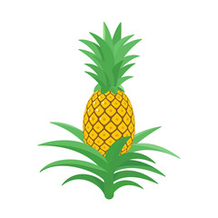 Pineapple. Tropical plant with an edible fruit. Ananas comosus. Isolated vector illustration.