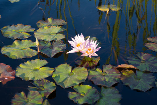 Close up lotus flower in the lake. Water lilly in pond.